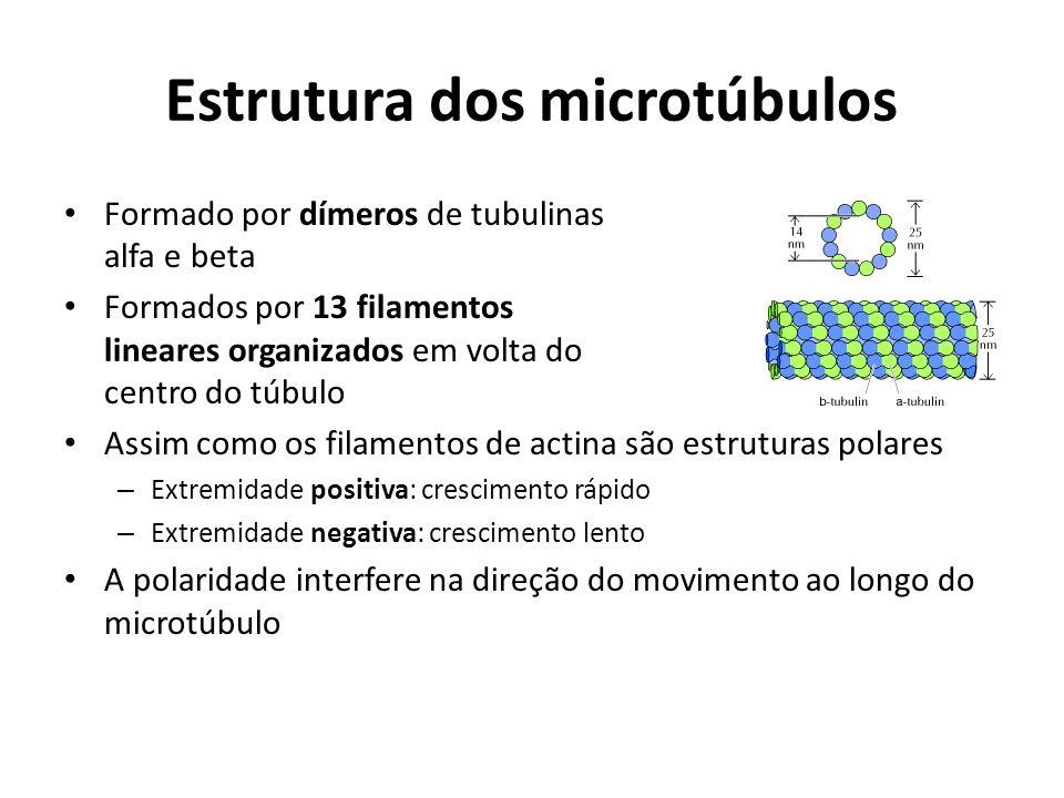 Estrutura dos microtúbulos