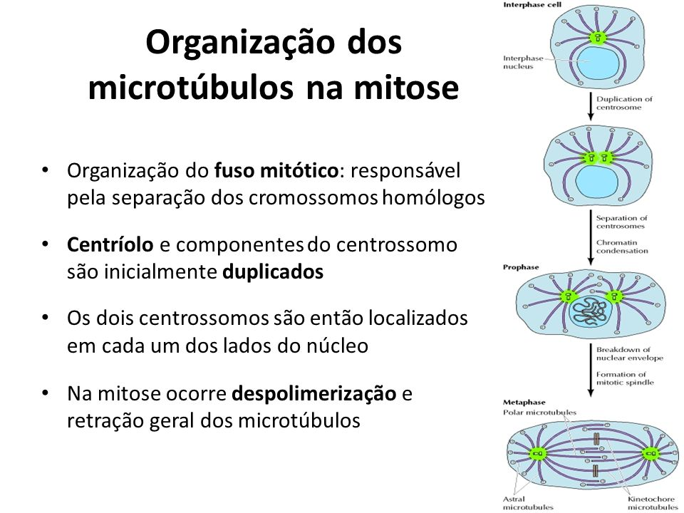 Organização dos microtúbulos na mitose