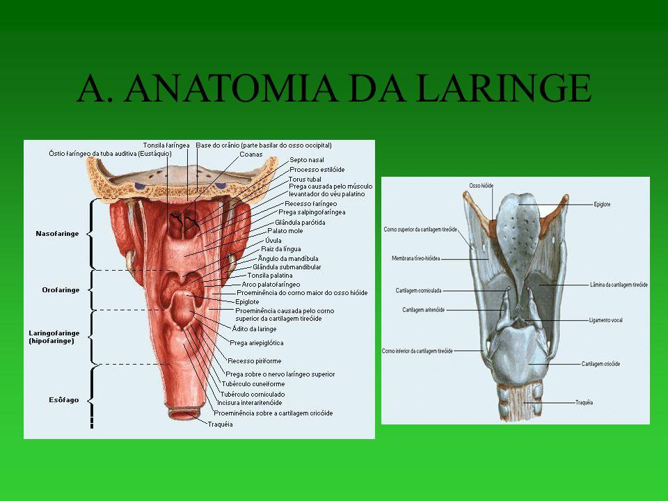 Perfecto Ppt Laringe Anatomía Imagen - Anatomía de Las Imágenesdel ...