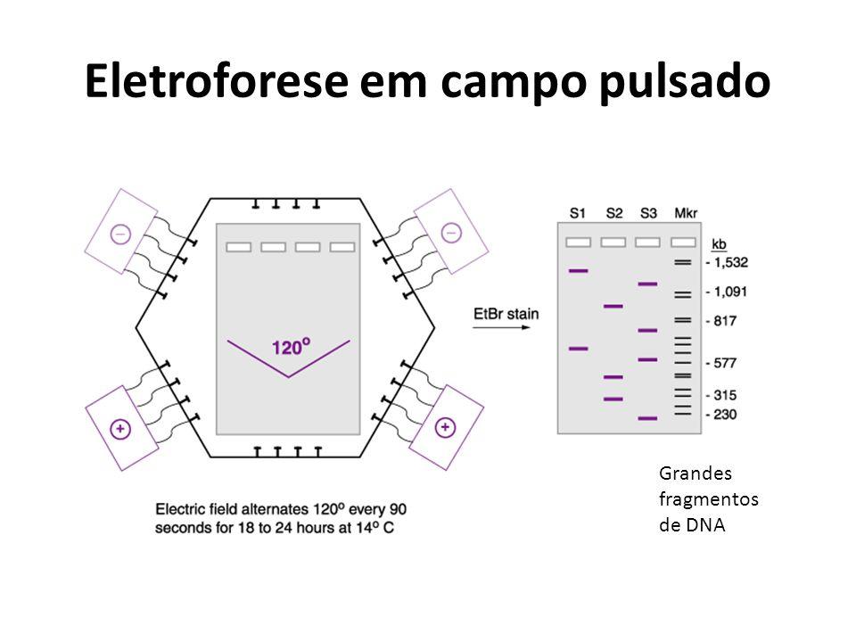Eletroforese em campo pulsado