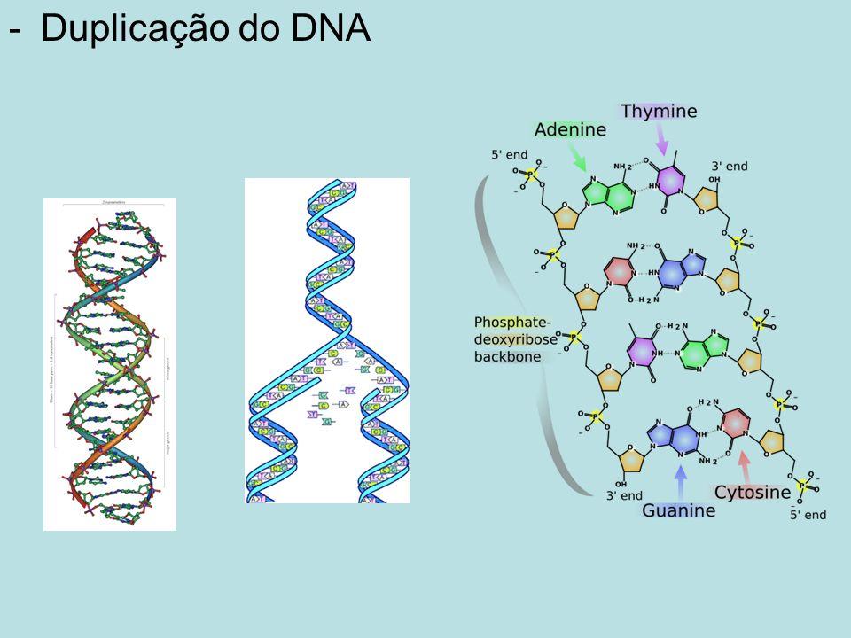 Duplicação do DNA Genética Molecular 5