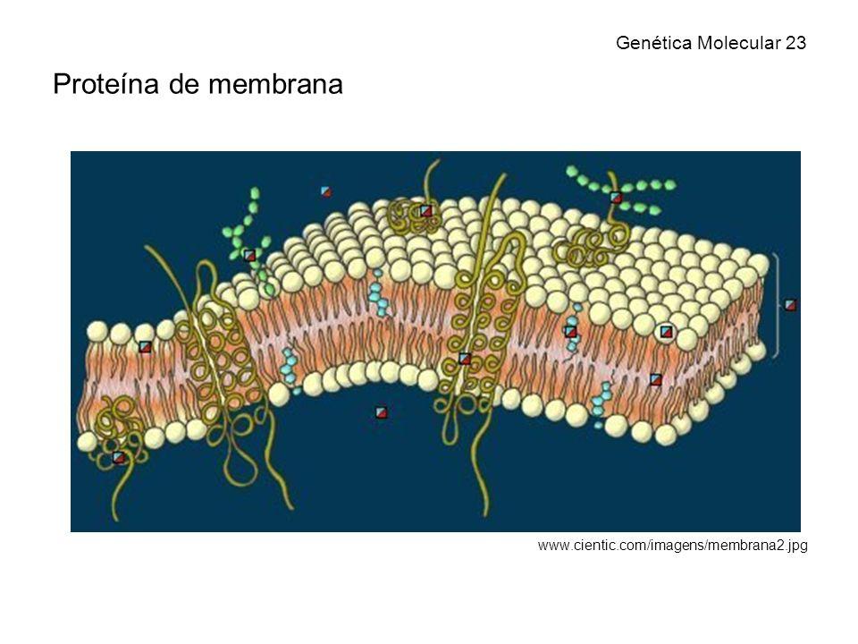 Proteína de membrana Genética Molecular 23