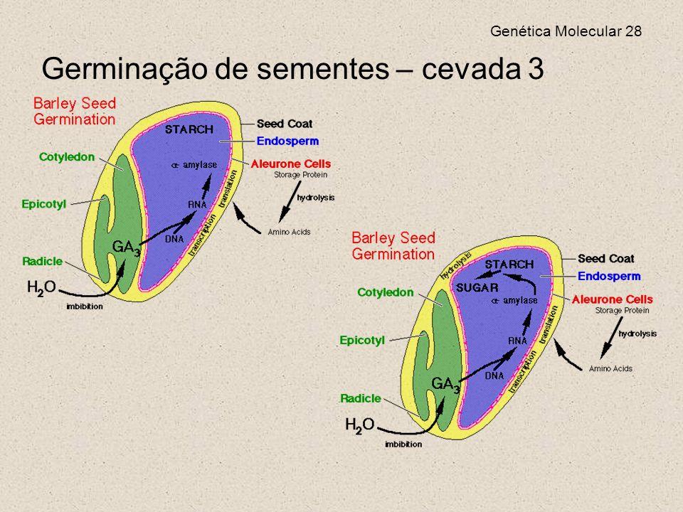 Germinação de sementes – cevada 3