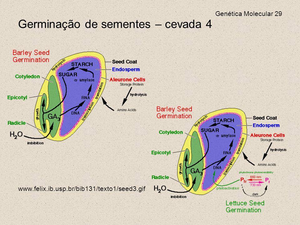 Germinação de sementes – cevada 4
