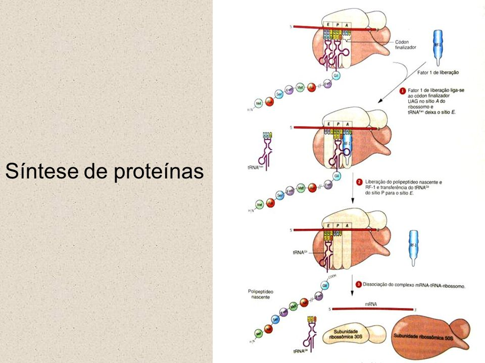 Síntese de proteínas Genética Molecular 14