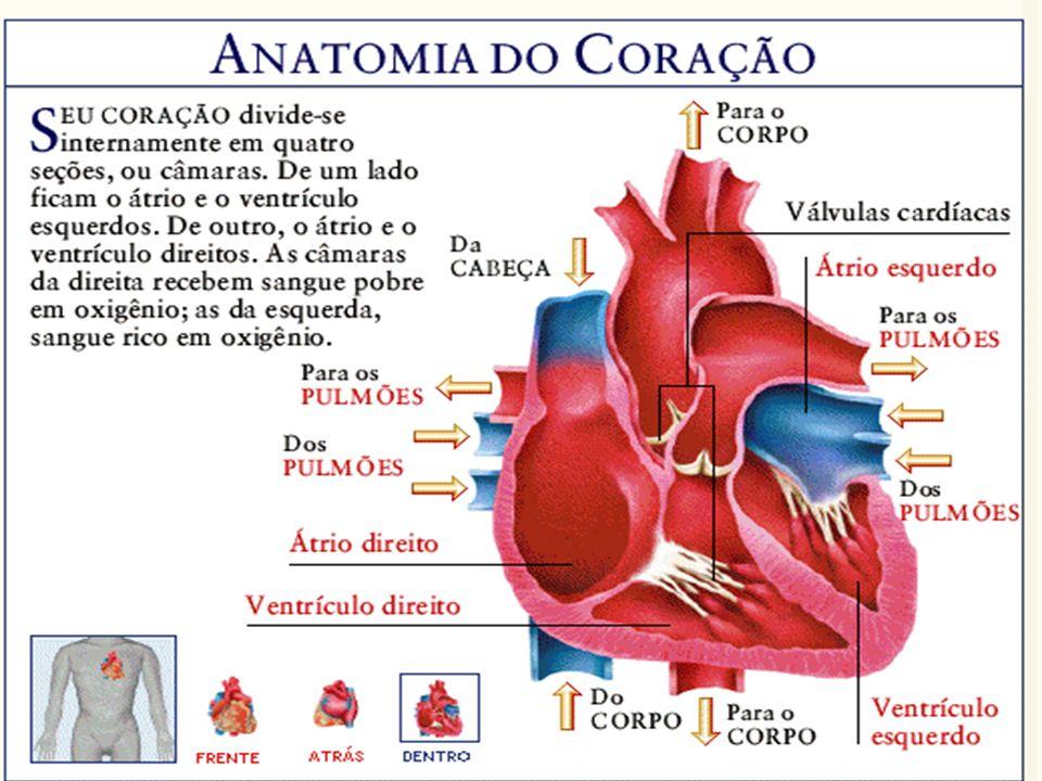 Magnífico Anatomía Del Sistema Cardiovascular Molde - Imágenes de ...