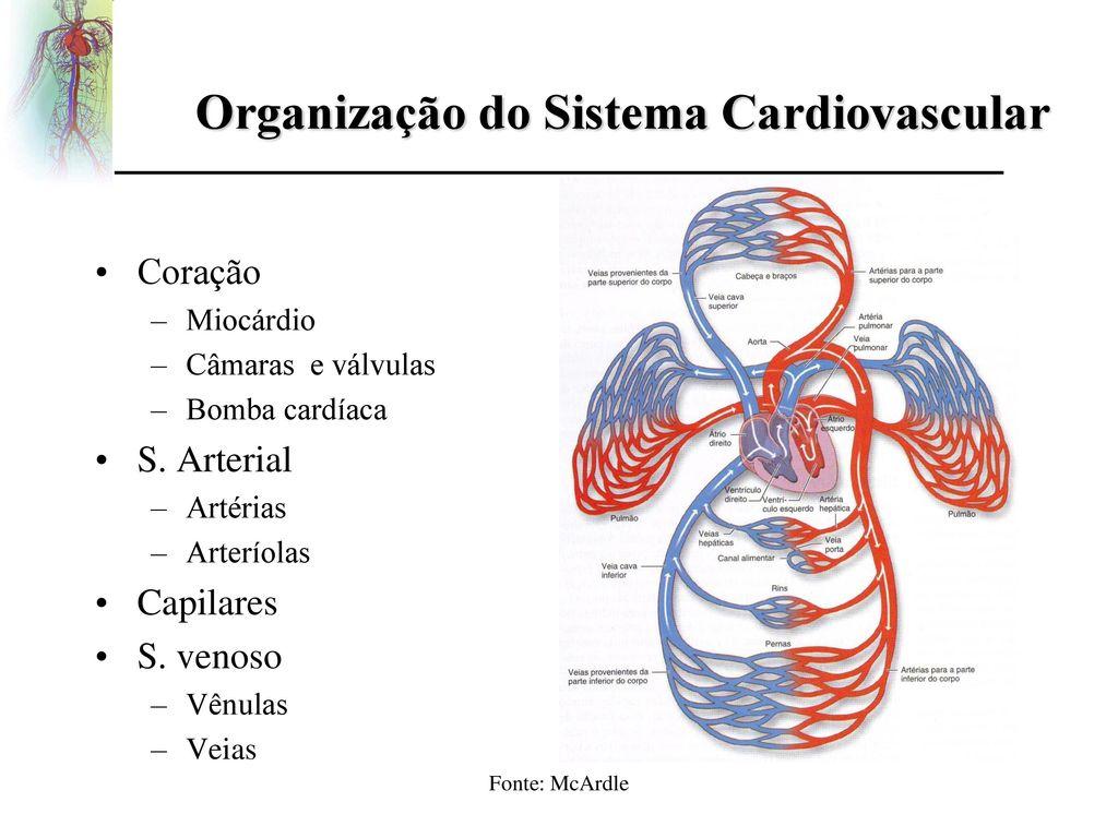 Fantástico Sistema Vascular Arterial Anatomía Gato Friso - Anatomía ...