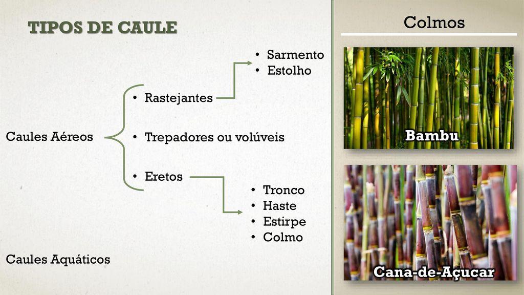 Caules ppt carregar - Tipos de bambu ...