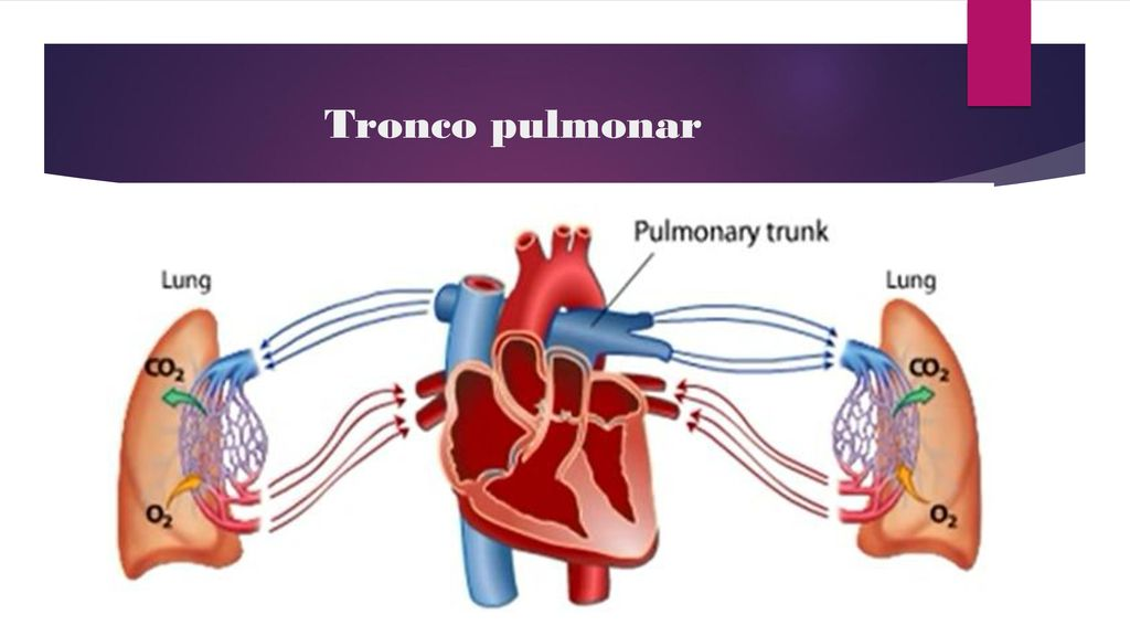 Famoso Tronco Pulmonar Foto - Anatomía de Las Imágenesdel Cuerpo ...