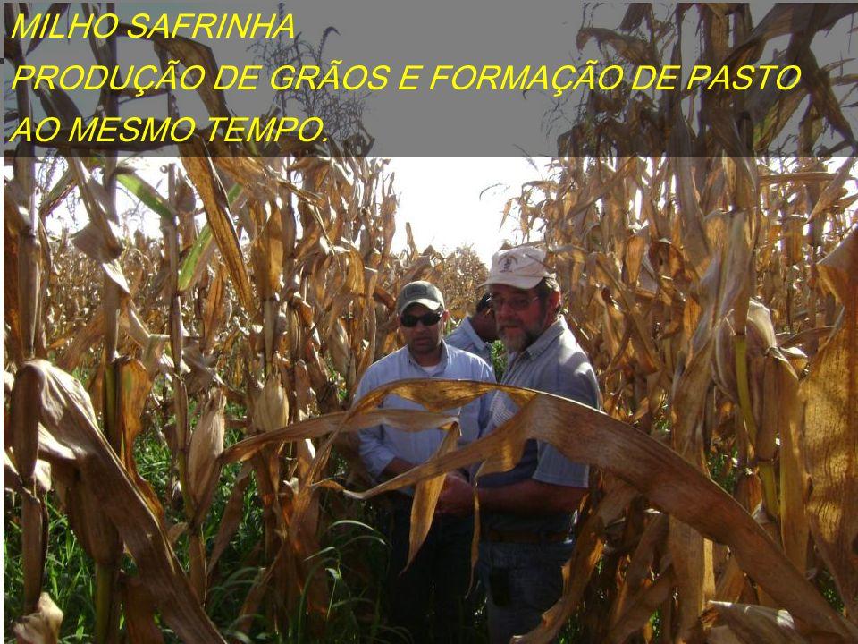 MILHO SAFRINHA PRODUÇÃO DE GRÃOS E FORMAÇÃO DE PASTO AO MESMO TEMPO.