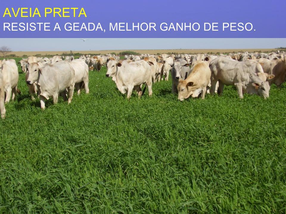 AVEIA PRETA RESISTE A GEADA, MELHOR GANHO DE PESO.