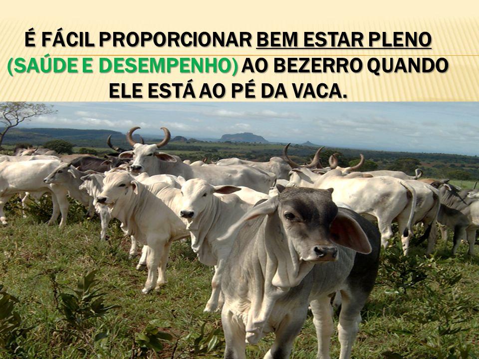 É fácil proporcionar bem estar pleno (saúde e desempenho) ao bezerro quando ele está ao pé da vaca.