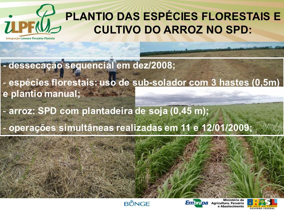 PLANTIO DAS ESPÉCIES FLORESTAIS E CULTIVO DO ARROZ NO SPD: