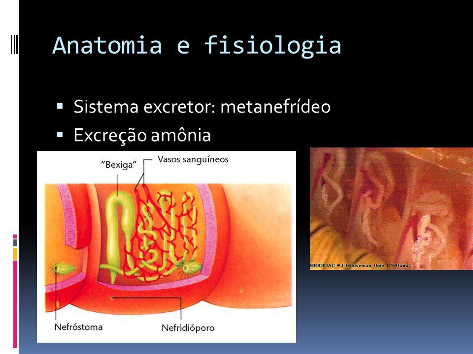 Anatomia e fisiologia Sistema excretor: metanefrídeo Excreção amônia