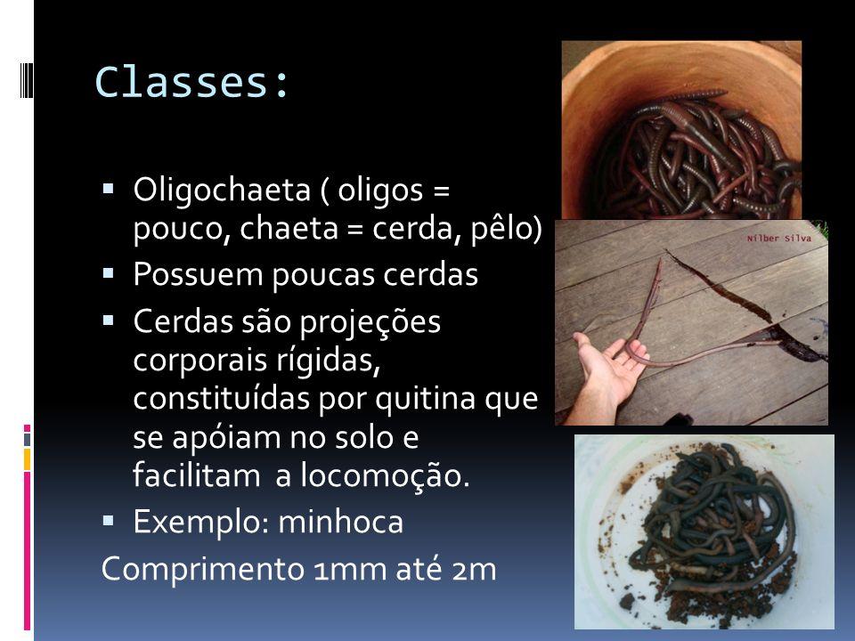 Classes: Oligochaeta ( oligos = pouco, chaeta = cerda, pêlo)