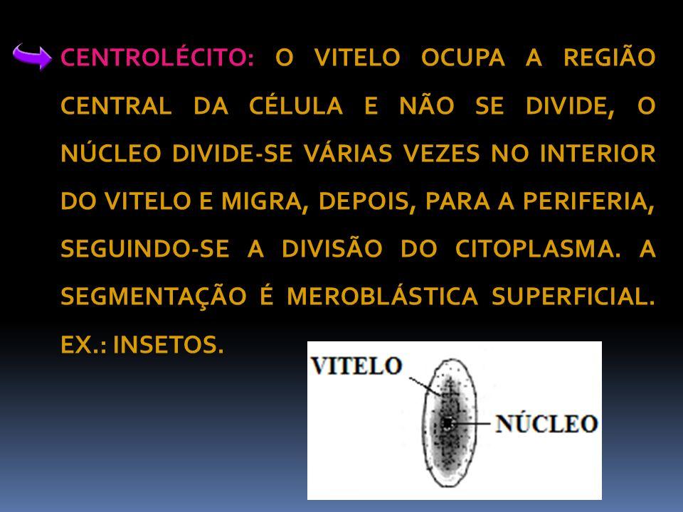 CENTROLÉCITO: O VITELO OCUPA A REGIÃO CENTRAL DA CÉLULA E NÃO SE DIVIDE, O NÚCLEO DIVIDE-SE VÁRIAS VEZES NO INTERIOR DO VITELO E MIGRA, DEPOIS, PARA A PERIFERIA, SEGUINDO-SE A DIVISÃO DO CITOPLASMA.