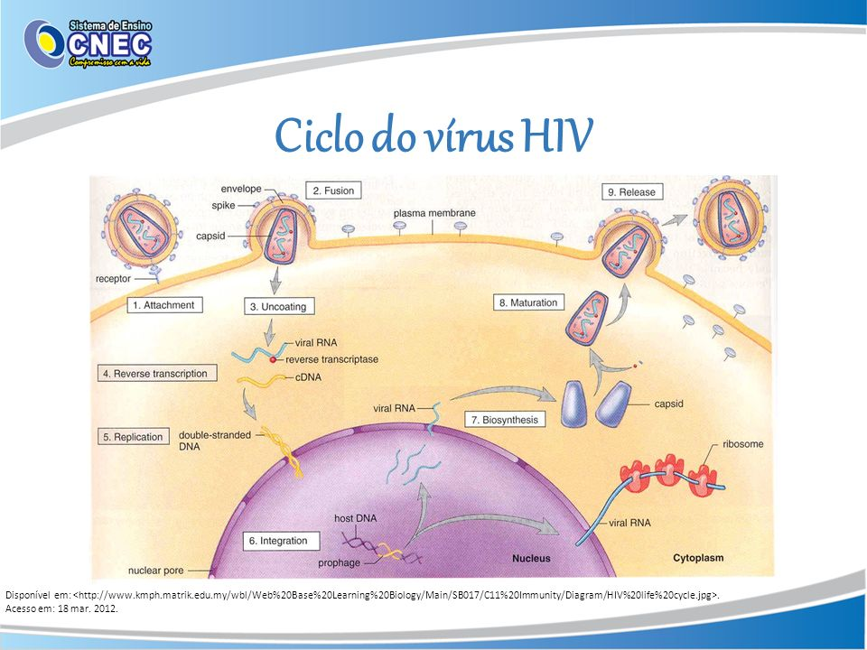 Ciclo do vírus HIV