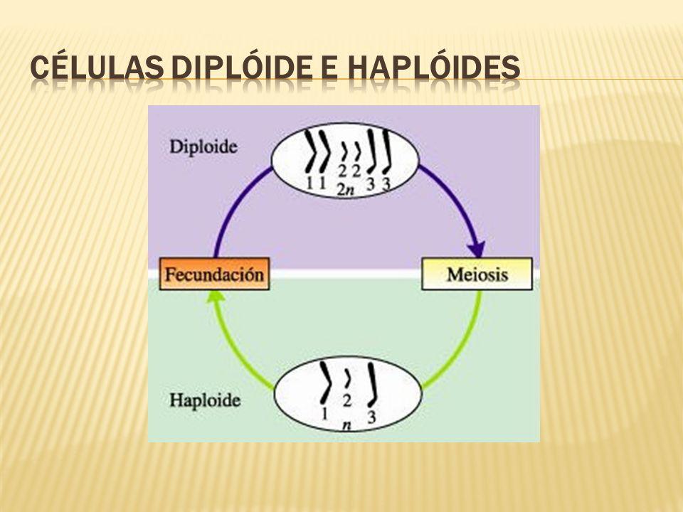 CÉLULAS DIPLÓIDE E HAPLÓIDES