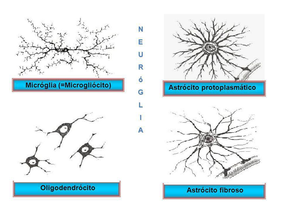 Micróglia (=Microgliócito)