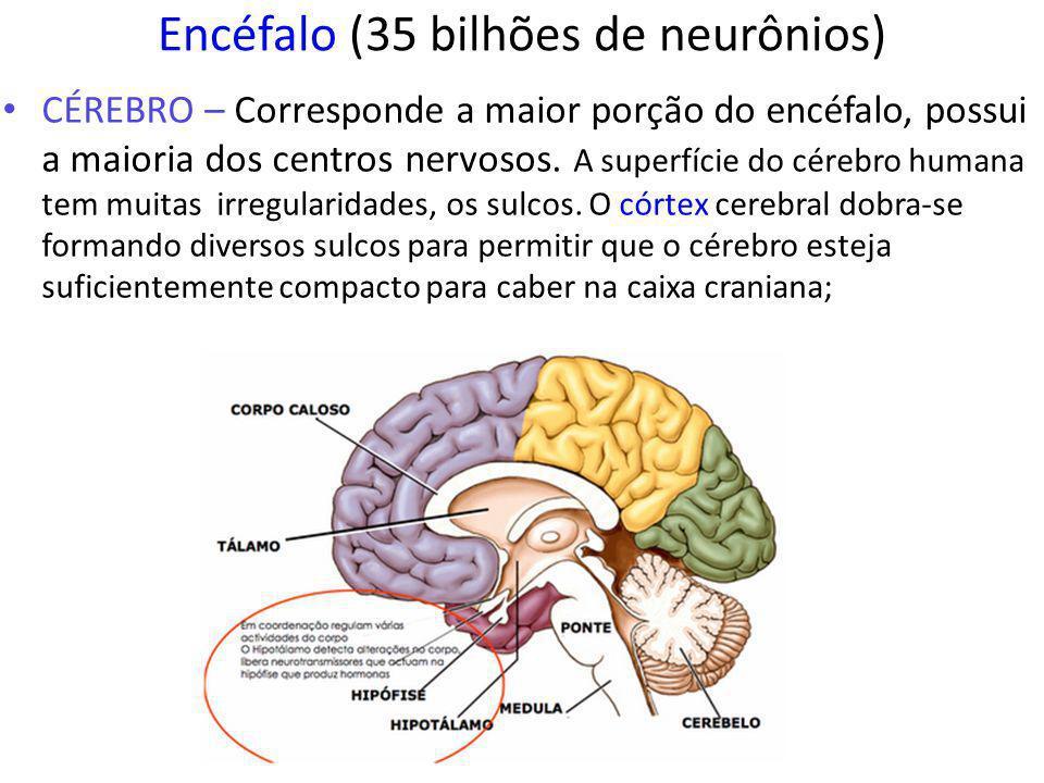 Encéfalo (35 bilhões de neurônios)