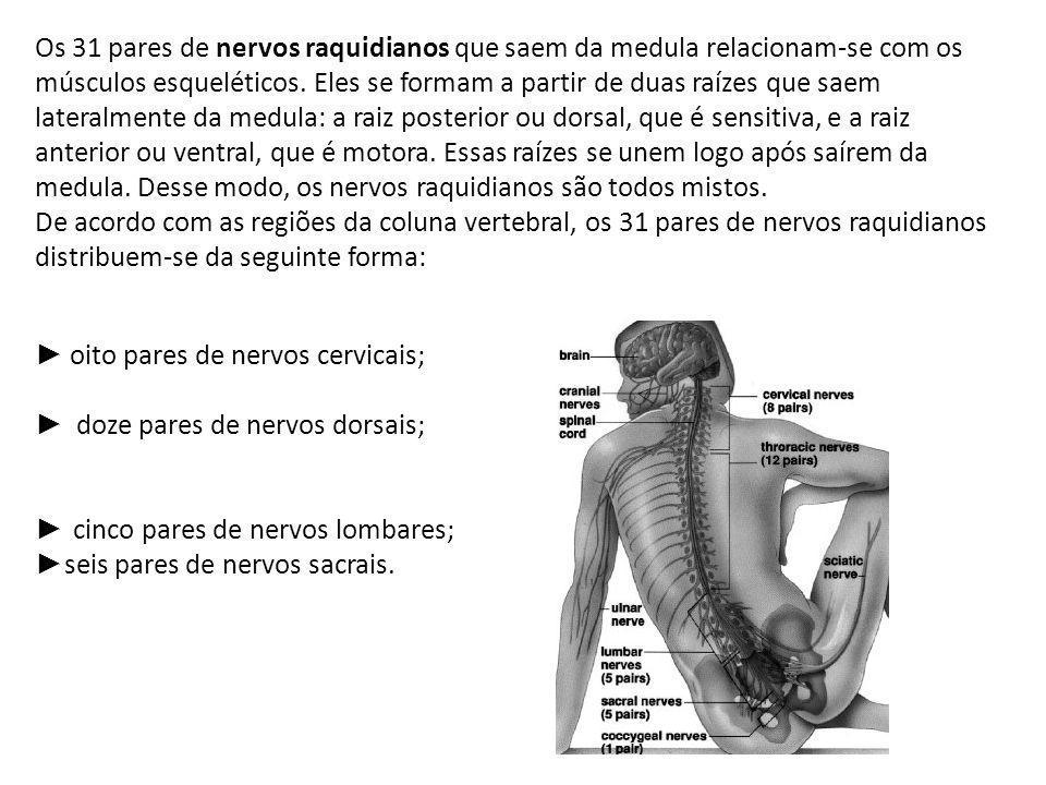 Os 31 pares de nervos raquidianos que saem da medula relacionam-se com os músculos esqueléticos. Eles se formam a partir de duas raízes que saem lateralmente da medula: a raiz posterior ou dorsal, que é sensitiva, e a raiz anterior ou ventral, que é motora. Essas raízes se unem logo após saírem da medula. Desse modo, os nervos raquidianos são todos mistos.