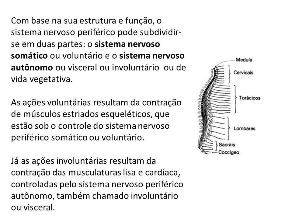 Com base na sua estrutura e função, o sistema nervoso periférico pode subdividir-se em duas partes: o sistema nervoso somático ou voluntário e o sistema nervoso autônomo ou visceral ou involuntário ou de vida vegetativa.