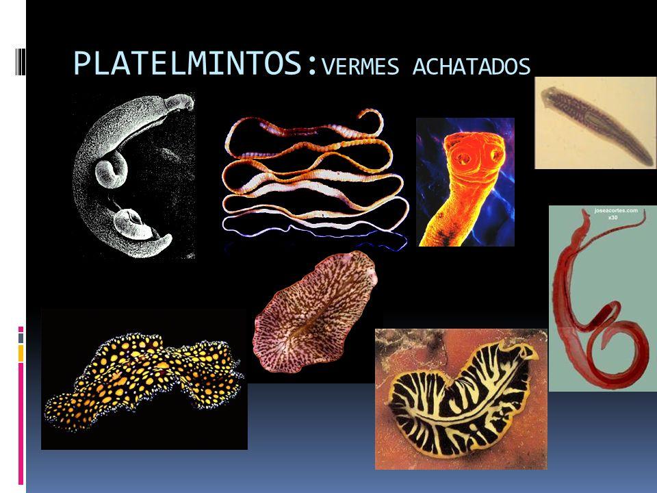 PLATELMINTOS:VERMES ACHATADOS