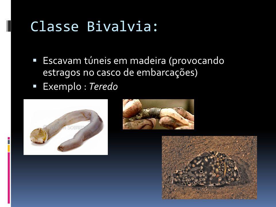 Classe Bivalvia: Escavam túneis em madeira (provocando estragos no casco de embarcações) Exemplo : Teredo.