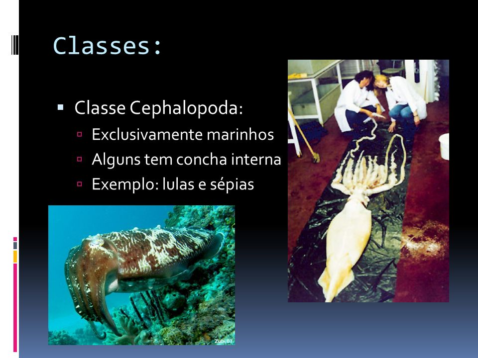 Classes: Classe Cephalopoda: Exclusivamente marinhos