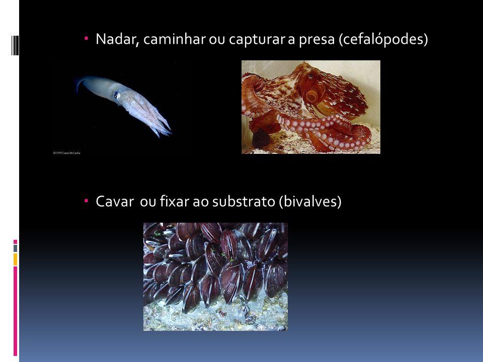 Nadar, caminhar ou capturar a presa (cefalópodes)
