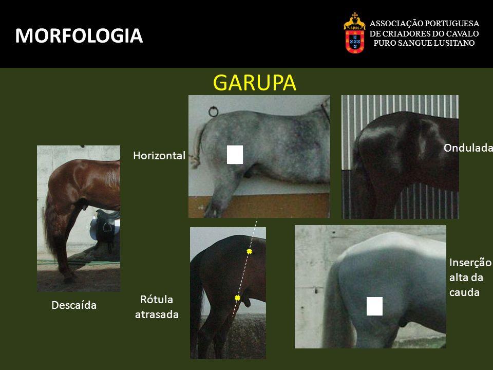 GARUPA MORFOLOGIA Ondulada Horizontal Inserção alta da cauda Rótula