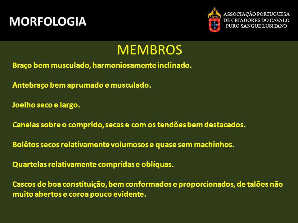 MEMBROS MORFOLOGIA Braço bem musculado, harmoniosamente inclinado.