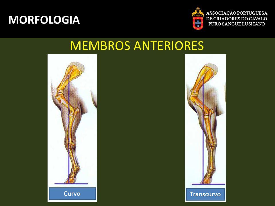 MEMBROS ANTERIORES MORFOLOGIA Curvo Transcurvo ASSOCIAÇÃO PORTUGUESA