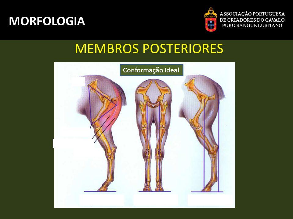 MEMBROS POSTERIORES MORFOLOGIA Conformação Ideal ASSOCIAÇÃO PORTUGUESA