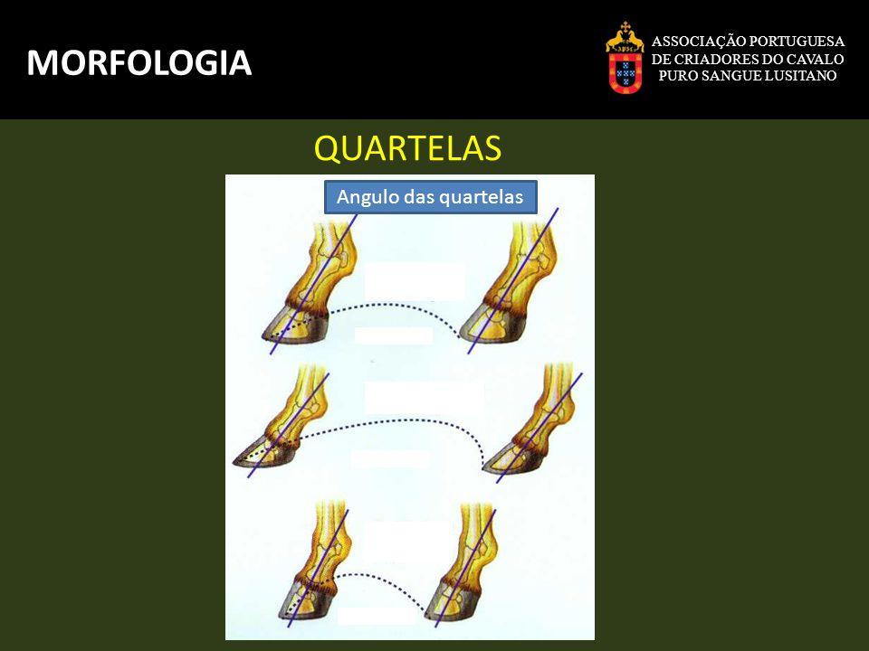 MORFOLOGIA QUARTELAS Angulo das quartelas ASSOCIAÇÃO PORTUGUESA