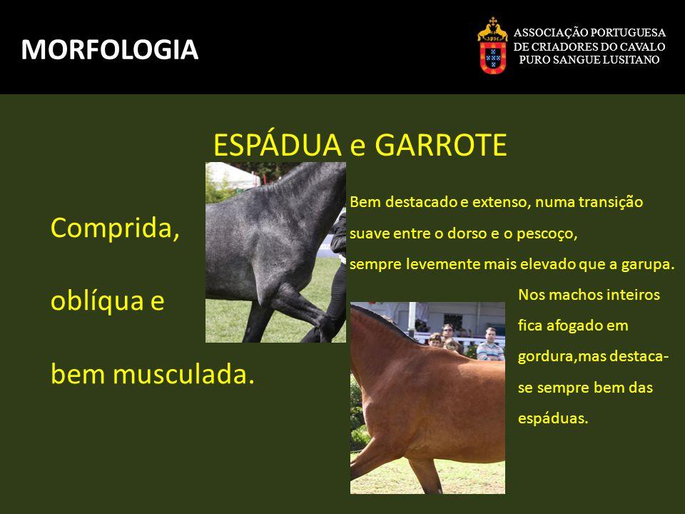 ESPÁDUA e GARROTE MORFOLOGIA Comprida, oblíqua e bem musculada.