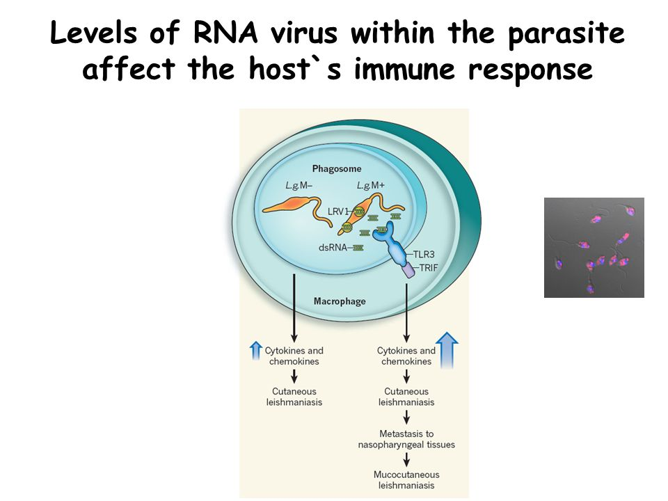 Levels of RNA virus within the parasite affect the host`s immune response