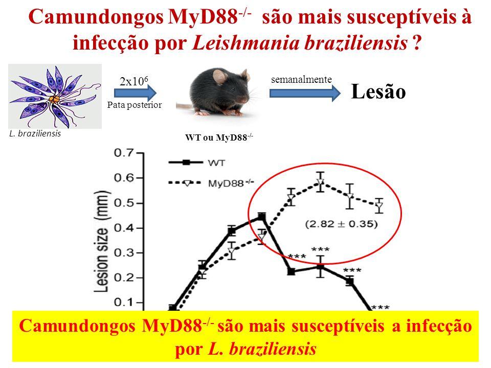 Camundongos MyD88-/- são mais susceptíveis à infecção por Leishmania braziliensis