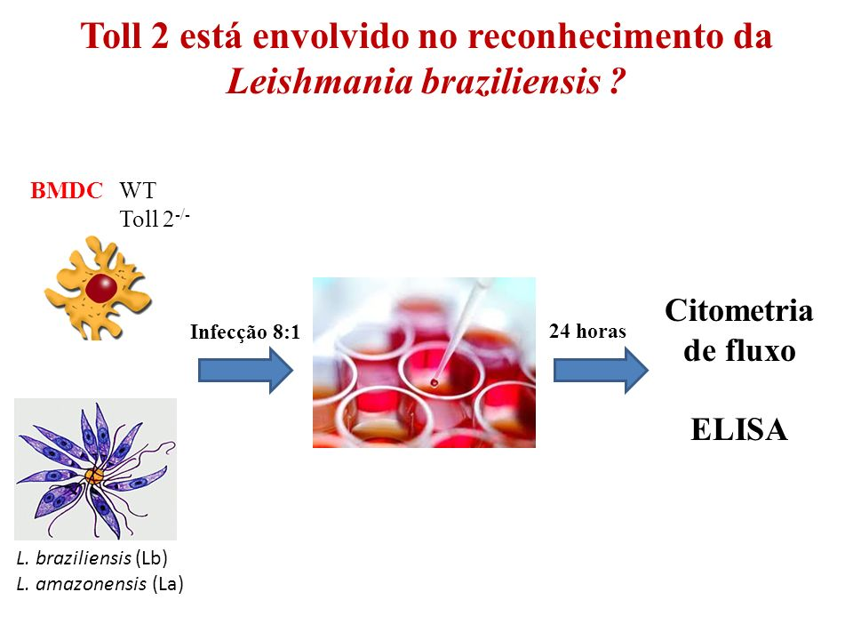 Toll 2 está envolvido no reconhecimento da Leishmania braziliensis