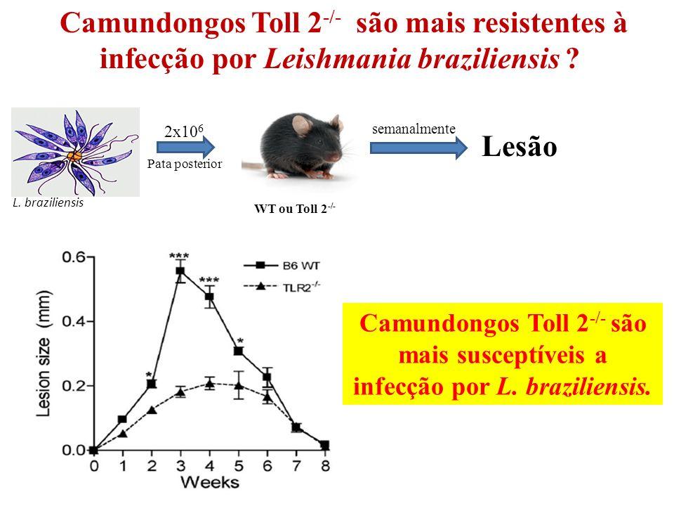 Camundongos Toll 2-/- são mais resistentes à infecção por Leishmania braziliensis