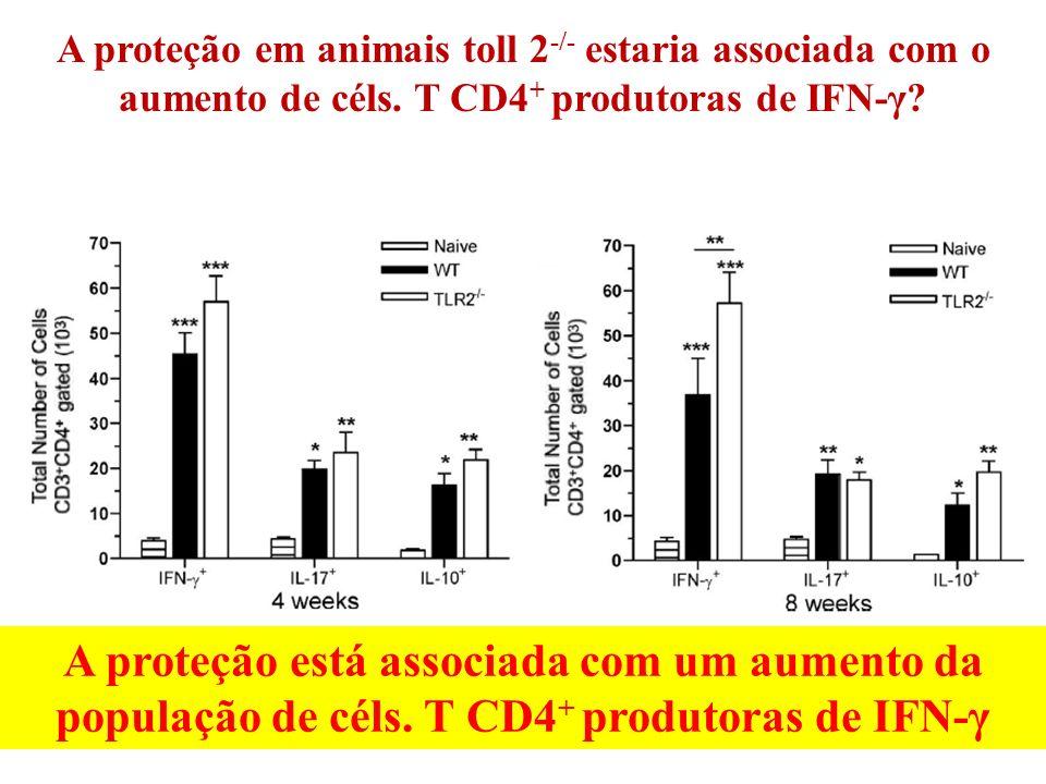 A proteção em animais toll 2-/- estaria associada com o aumento de céls. T CD4+ produtoras de IFN-γ