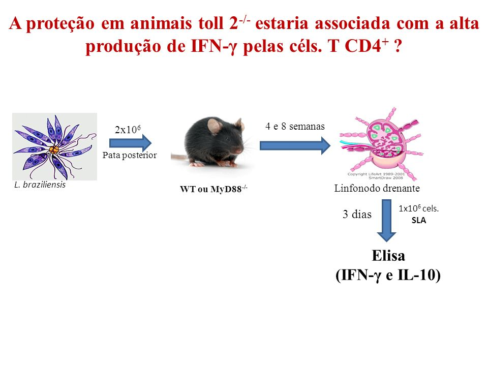 A proteção em animais toll 2-/- estaria associada com a alta produção de IFN-γ pelas céls. T CD4+