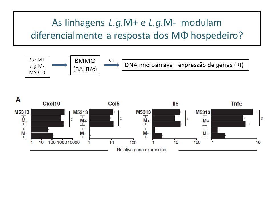 As linhagens L.g.M+ e L.g.M- modulam diferencialmente a resposta dos MΦ hospedeiro