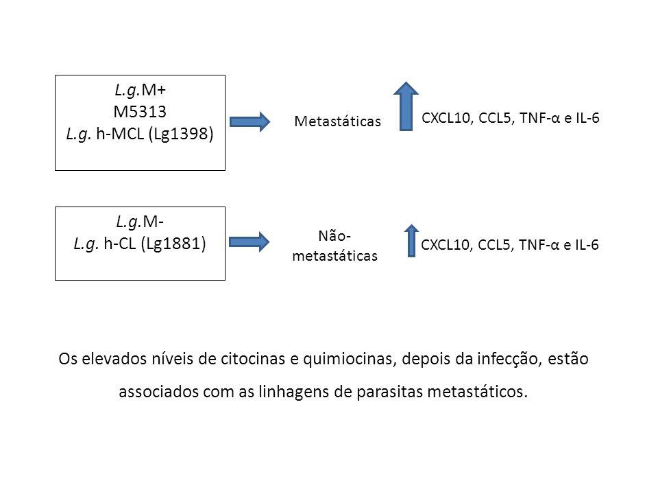 L.g.M+ M5313 L.g. h-MCL (Lg1398) L.g.M- L.g. h-CL (Lg1881)
