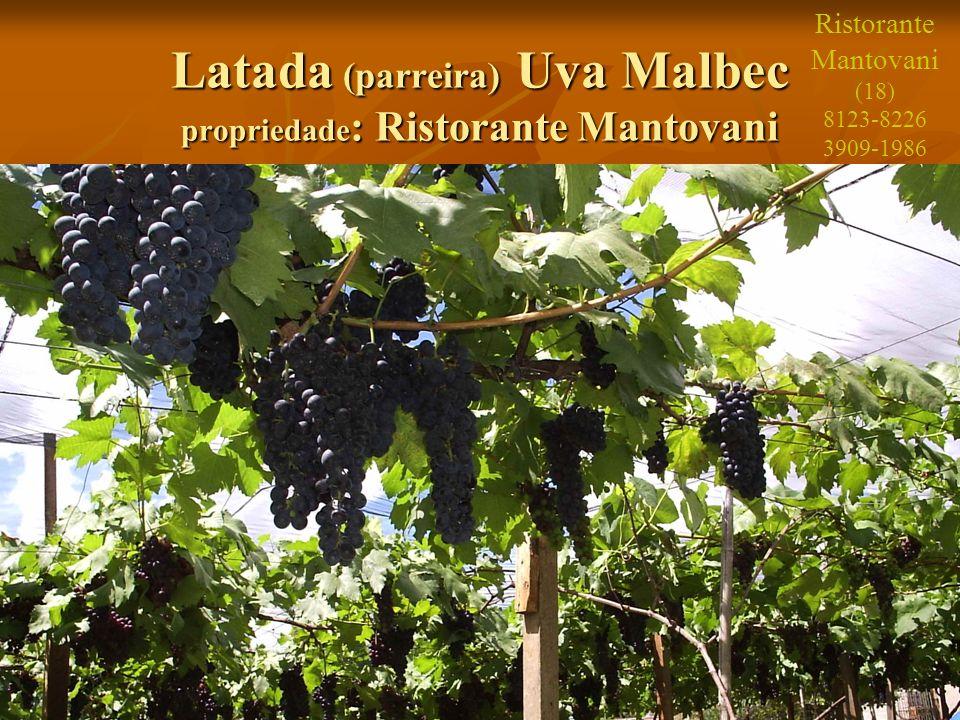 Latada (parreira) Uva Malbec propriedade: Ristorante Mantovani