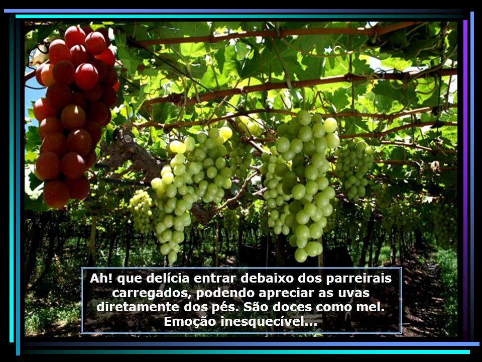 IMG_6790 - LAGOA GRANDE - ROTA DA UVA E DO VINHO - FAZENDA GARIBALDINA-ENXERTADA-680