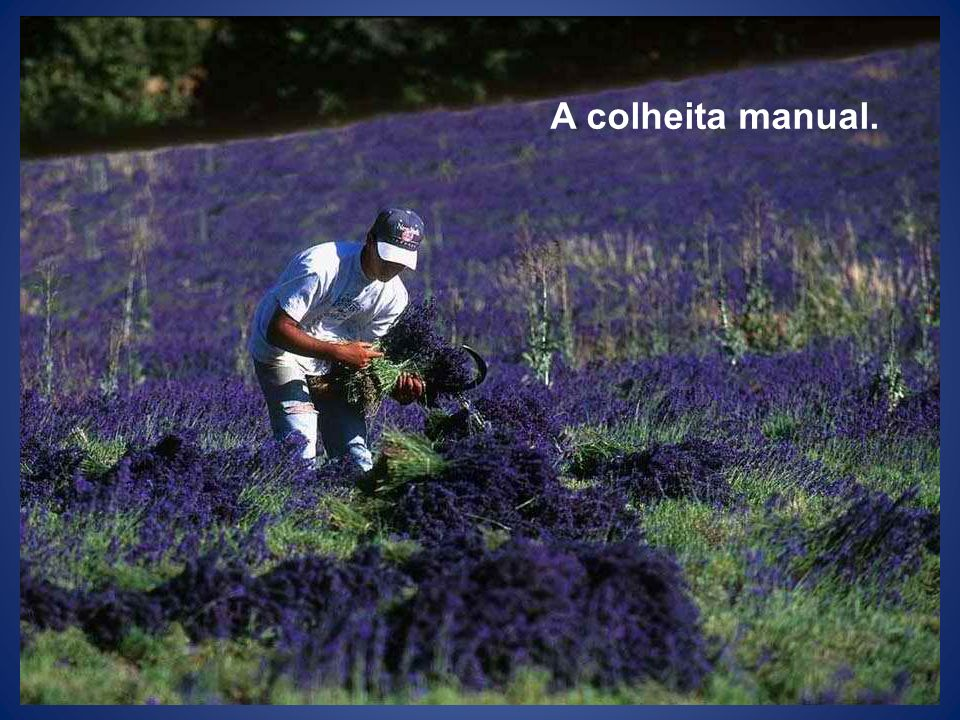 A colheita manual.