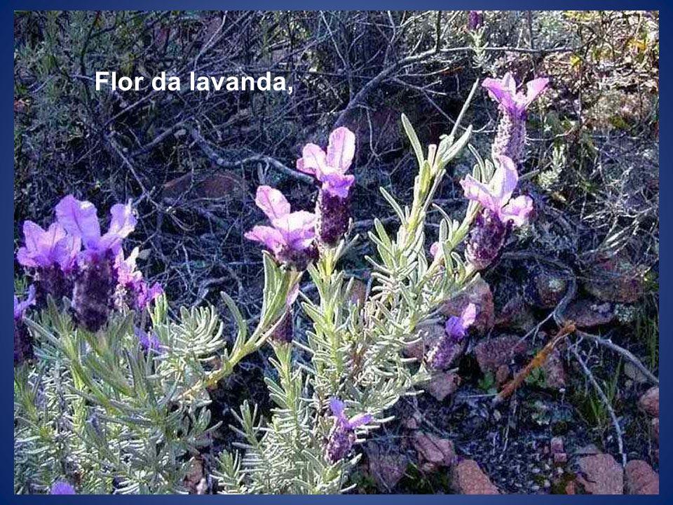 Flor da lavanda,