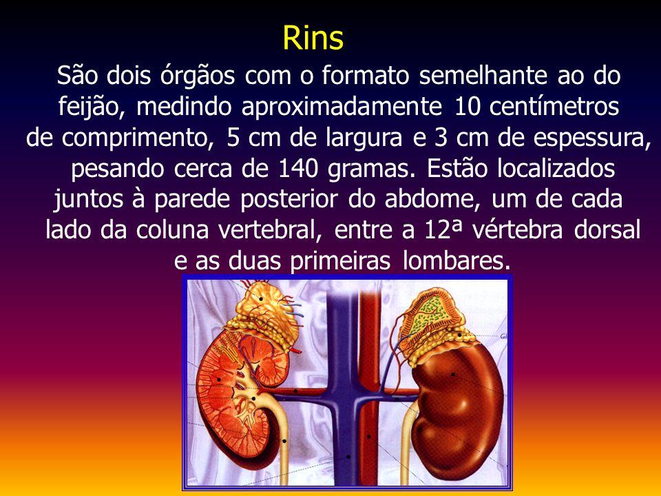 Rins São dois órgãos com o formato semelhante ao do