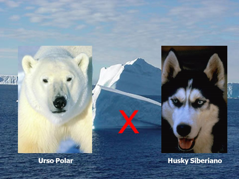 X Urso Polar Husky Siberiano